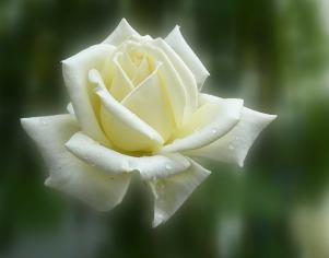 white rose-140446_1920