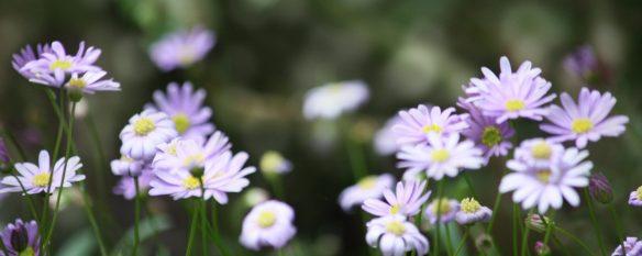 cropped-violet-daisies.jpg