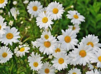 daisy-165292_1920