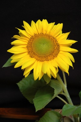 sun-flower-blossom-bloom-yellow-158708